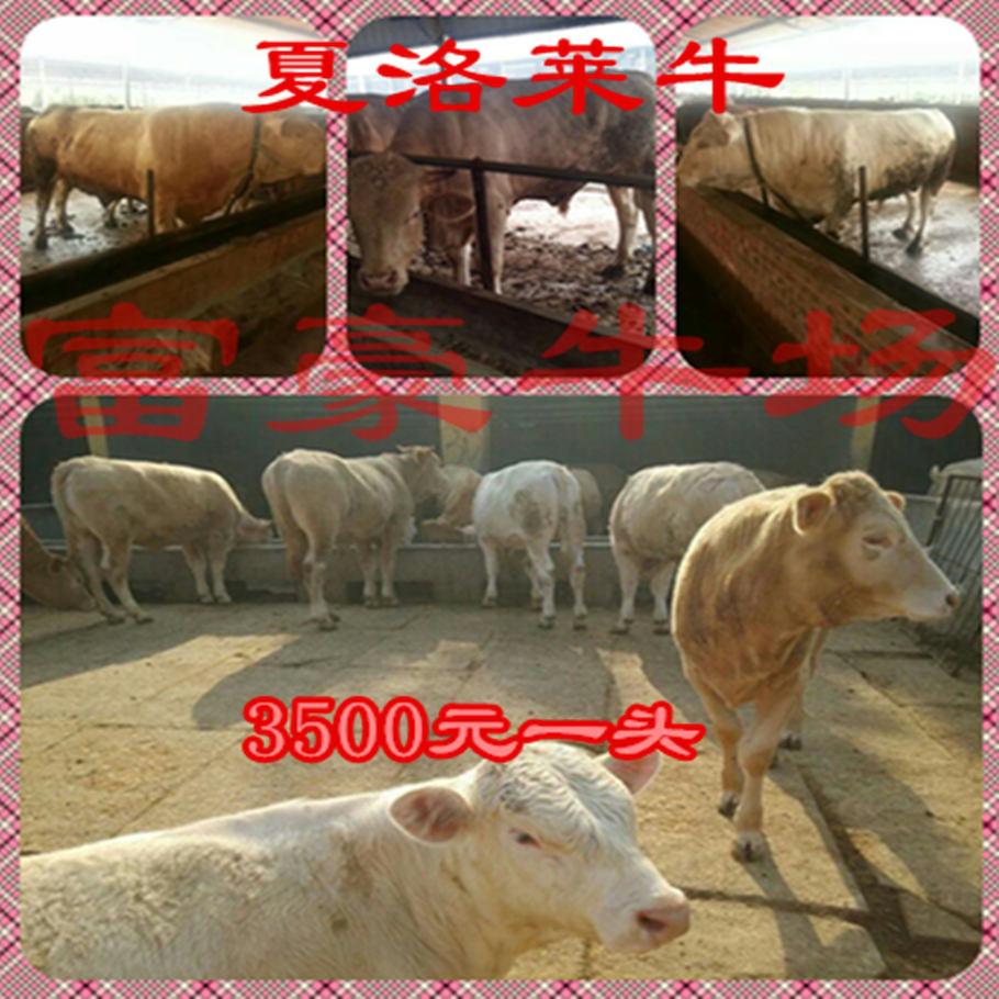 河源改良肉牛牛犊