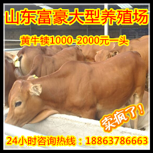 2017小牛犊子多少钱