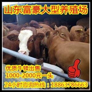 西门塔尔牛育肥牛价格四川