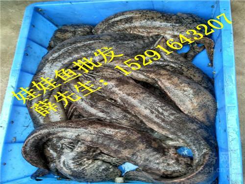 春节(大鲵)娃娃鱼价格优惠,2017年娃娃鱼价格批发