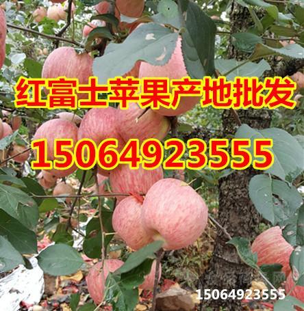 山东红富士苹果价格.红富士苹果批发价格.