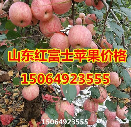 山东红富士苹果今日最低销售价格
