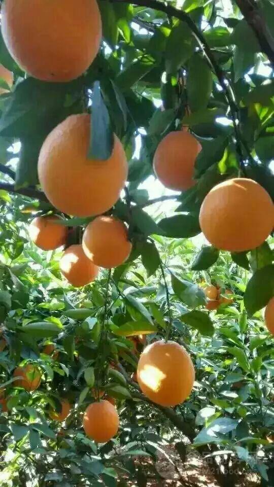 湖北脐橙代/湖北秭归脐橙代办/伦晚脐橙