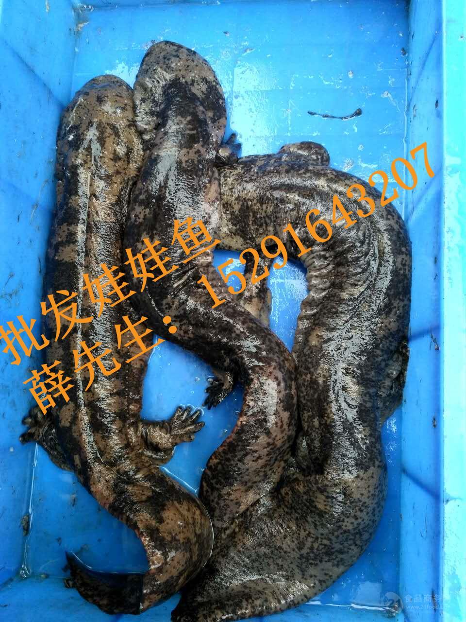 饲养娃娃鱼(大鲵)多少钱一斤,娃娃鱼多少钱批发