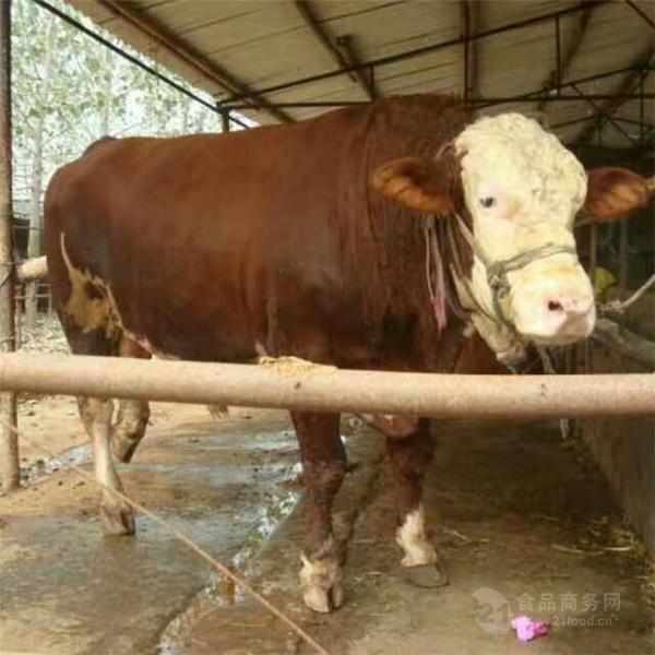 鲁西黄牛牦牛多少钱