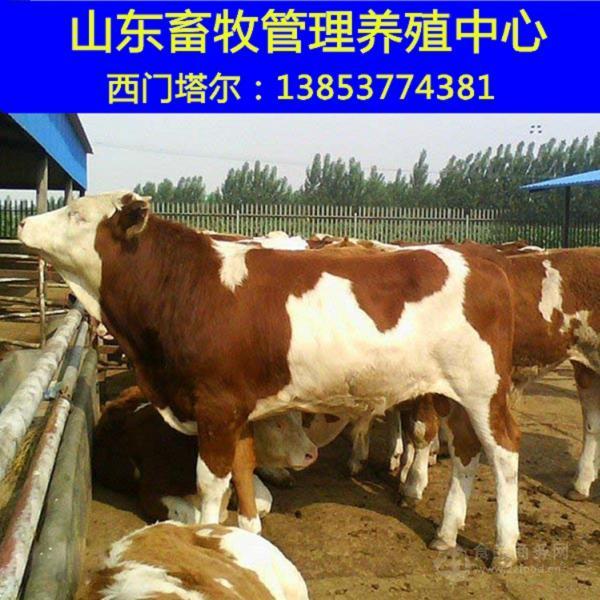 新黄牛市场价格