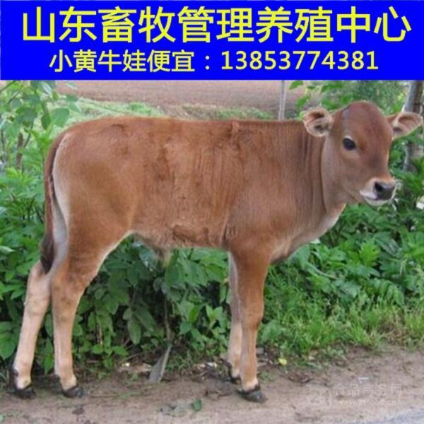 买牛去哪个网站一头成年牛的价格