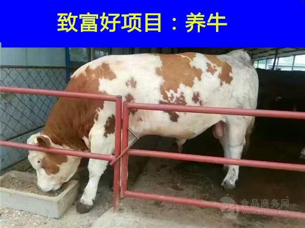哪里能买到黄牛牛犊一头西门塔牛多少钱