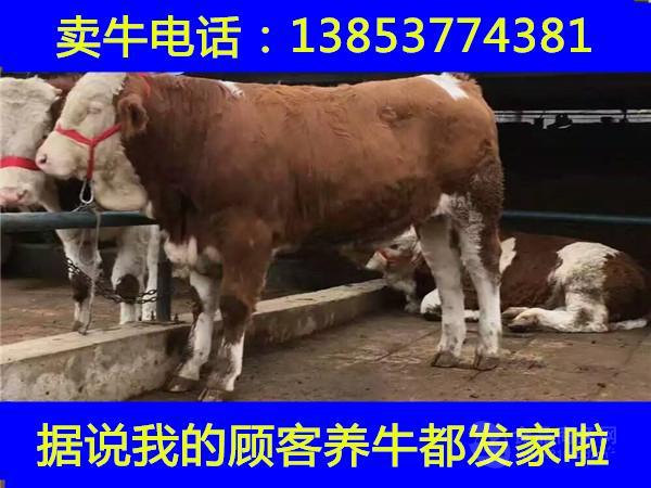 养牛业利润分析河北哪里卖肉牛犊