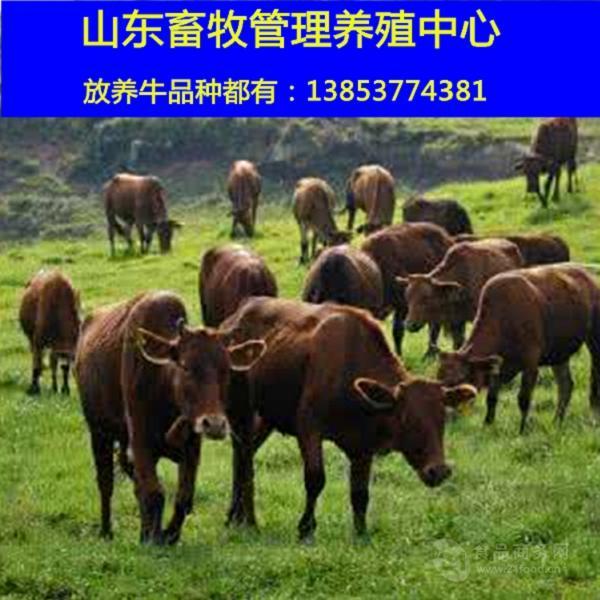 西门塔尔牛母牛图片