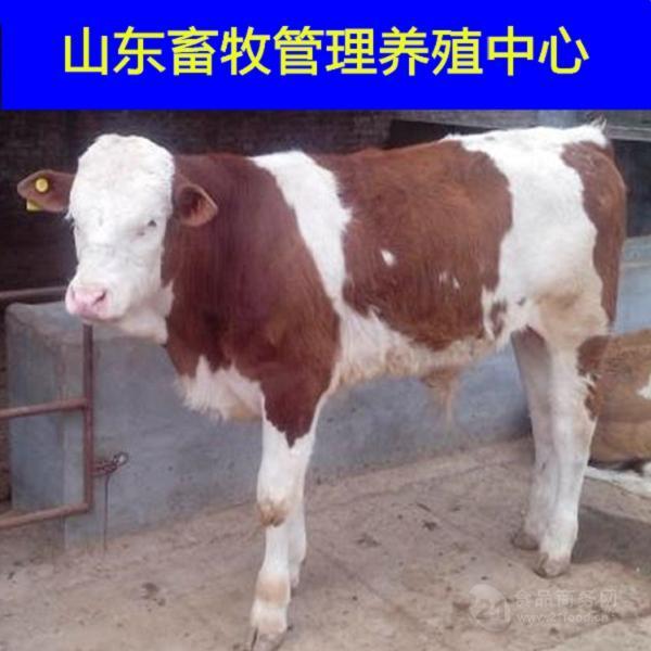 西门塔尔育肥牛养殖生长速度快