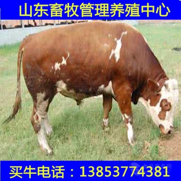山东肉牛行情杂交夏洛来牛价格