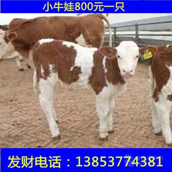 西门塔尔母牛价格今年的售价稳定