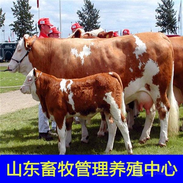 肉牛良种基地哪里卖小黄牛苗牛犊