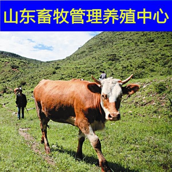 出售西门塔尔牛价格小肉牛多少钱一只