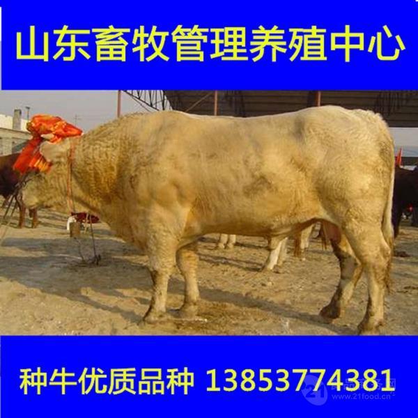 南阳黄牛多少钱一头