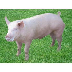 鄂美PIC大白视频L01价格@武汉初一公猪图片