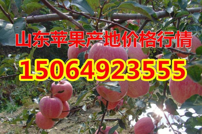山东苹果价格,今年山东红富士苹果状况