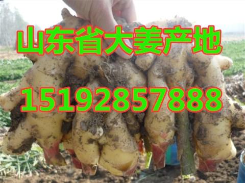 山东省生姜产地价格 今年 生姜产地价格报价详情