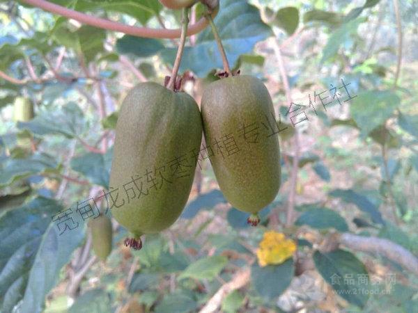 软枣子苗圆枣子苗批发价格@丹东 猕猴桃-食品商务网