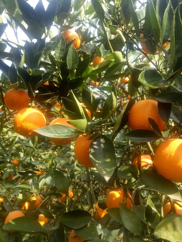 圆红脐橙批发基地供应