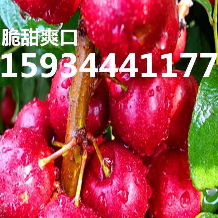 農大8號鈣果樹苗
