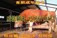 4个月的黄牛犊价格