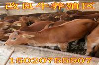 山区养牛需要哪些条件