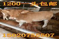如何改良肉牛