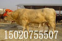 如何选种牛