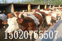 黄牛肉牛养殖价格