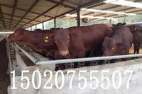 现在活牛多少钱一斤