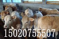温州山区土黄牛