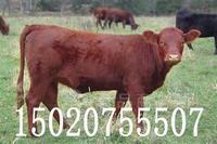 内蒙古黄肉牛交易市场