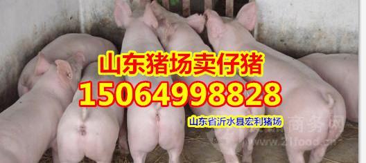山东仔猪价格多少一斤