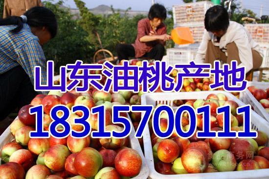 今日油桃价格行情  油桃批发价格详细报道