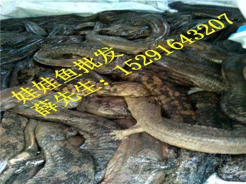 今日鲵情-批发娃娃鱼多少钱一斤
