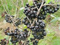 黑果花楸|黑果花楸苗|收购黑果花楸