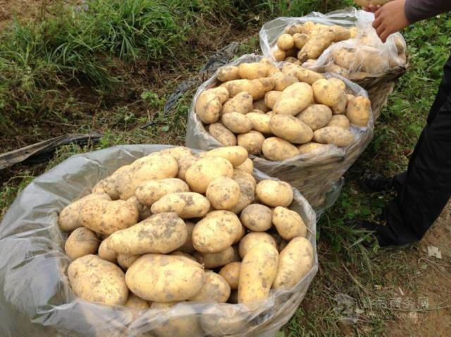 山东土豆批发价格