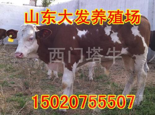 5个月的牛犊大约多少钱