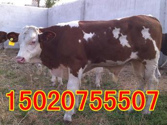 肉牛牛苗价格