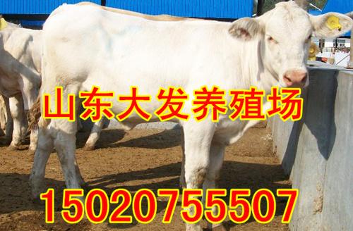 湖南鲁西黄牛的种牛