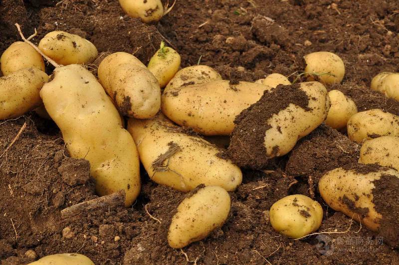 土豆批发电话是多少