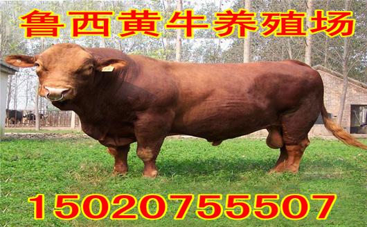 6万可以养几头牛
