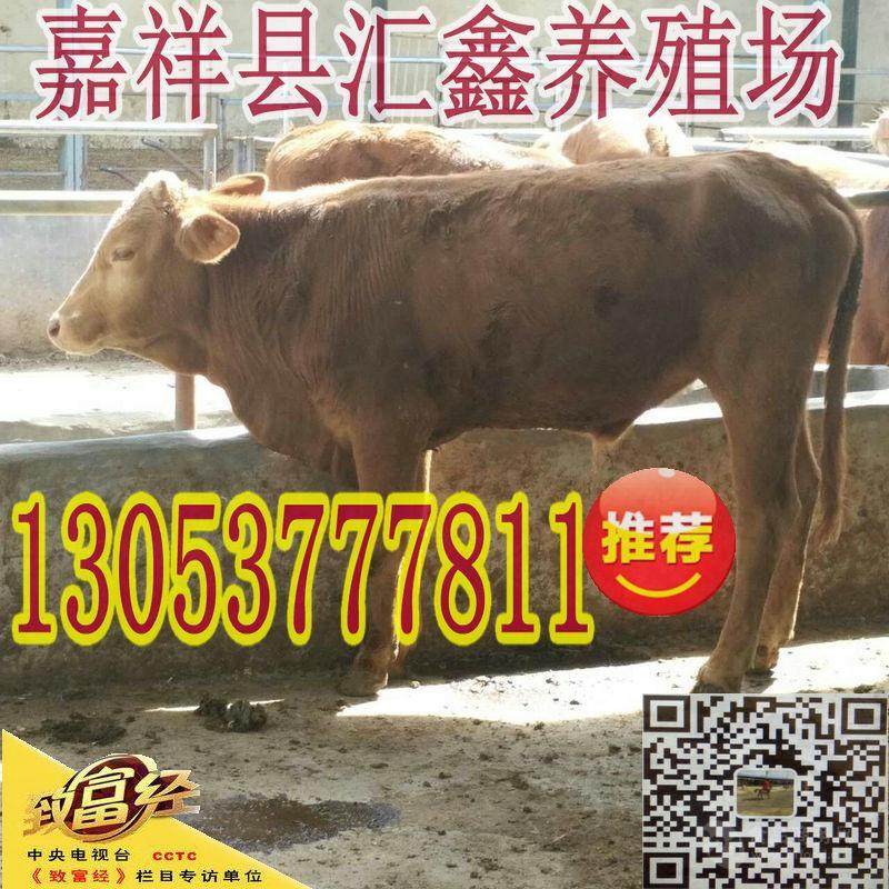 哪里有养牛的鲁西黄牛