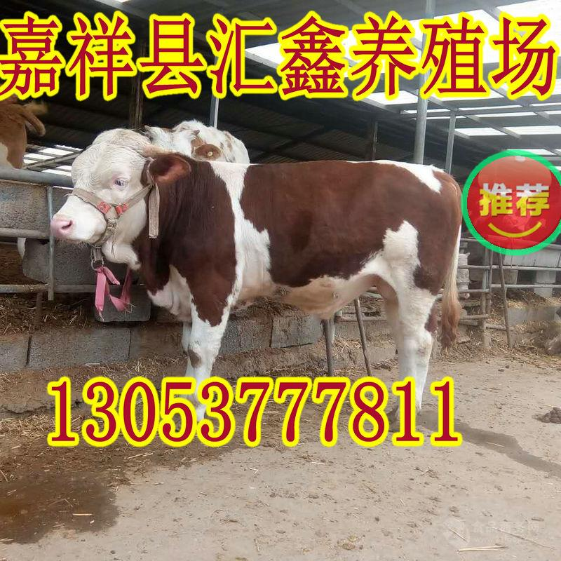 改良肉牛犊牛犊子
