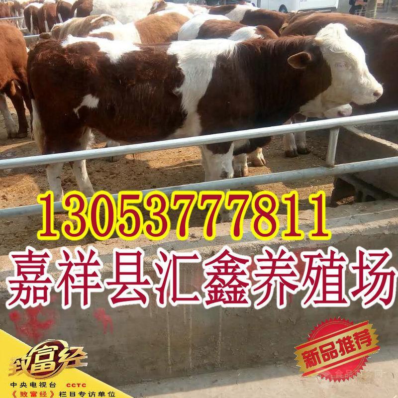 牛犊现在的价格_养殖西门塔尔牛