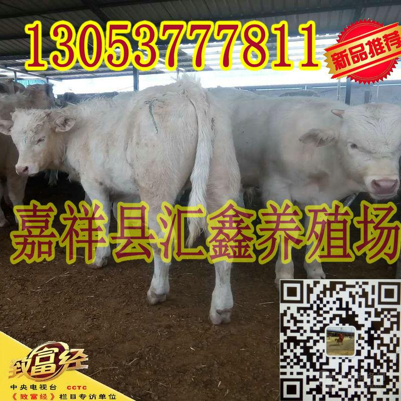 养肉牛基地夏洛莱牛犊价格表