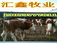 利木赞牛的养殖育肥牛