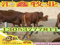 肉牛养殖基地夏洛莱牛